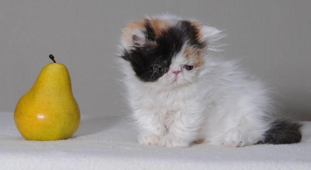 Кошка породы наполеон черепаховый окрас