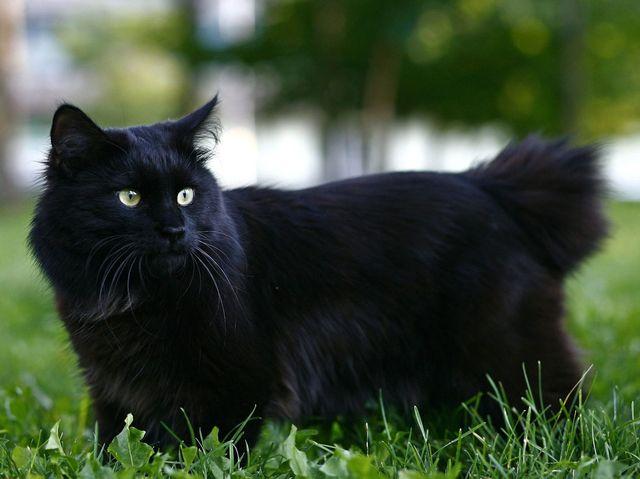 Курильский бобтейл черный окрас