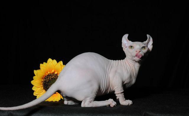 Кошка породы лысый эльф