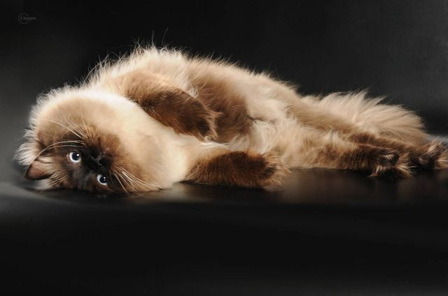 Невская маскарадная коричневый пойнт