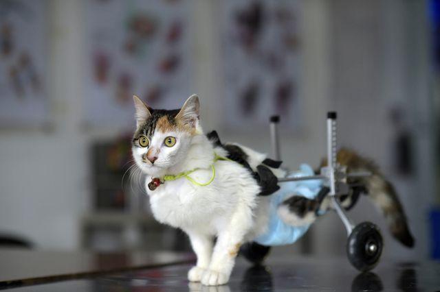 Инвалидная коляска для кошки