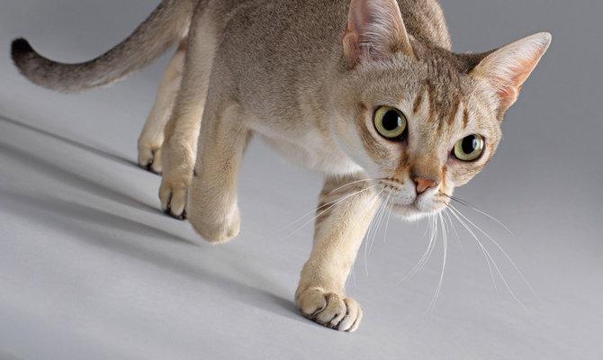 Причины блефарита у кошек