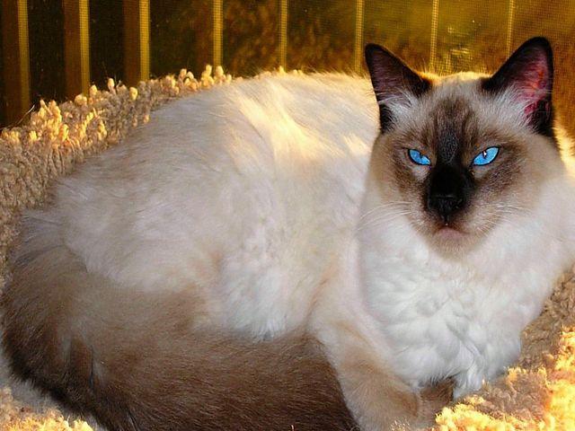 Балийская кошка шоколадный