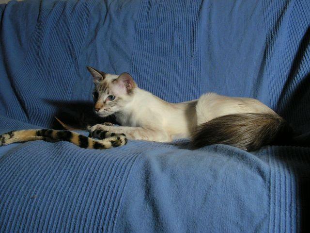 Балийская кошка сил