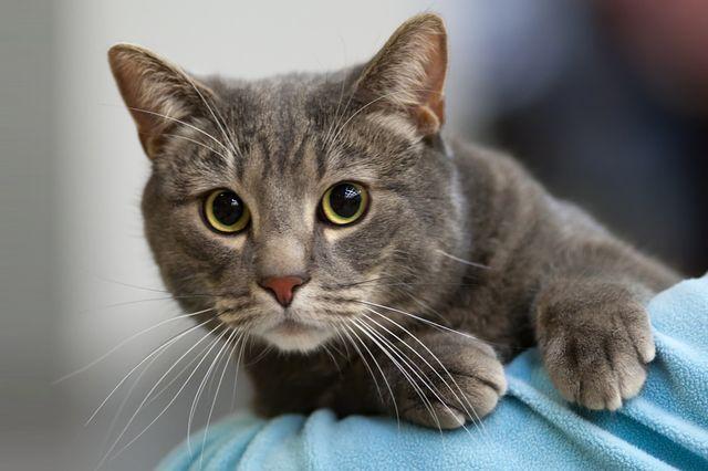 Кошка бразильская короткошерстная
