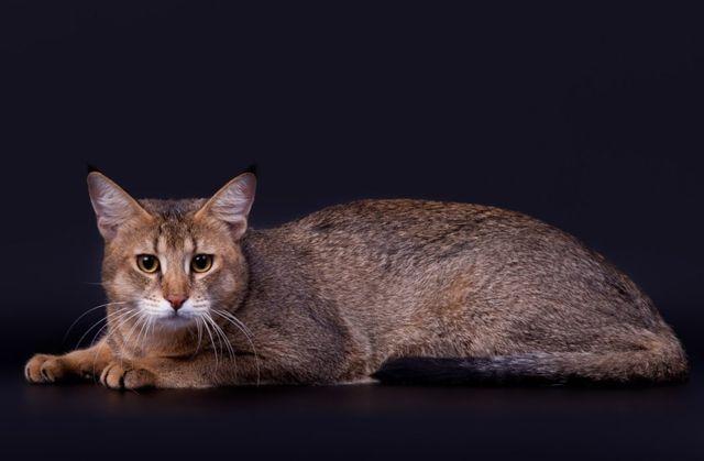 Кошка чаузи F2