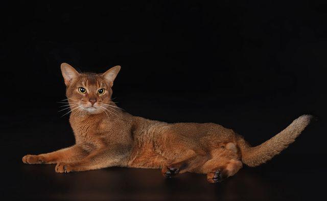 Кошка чаузи F3