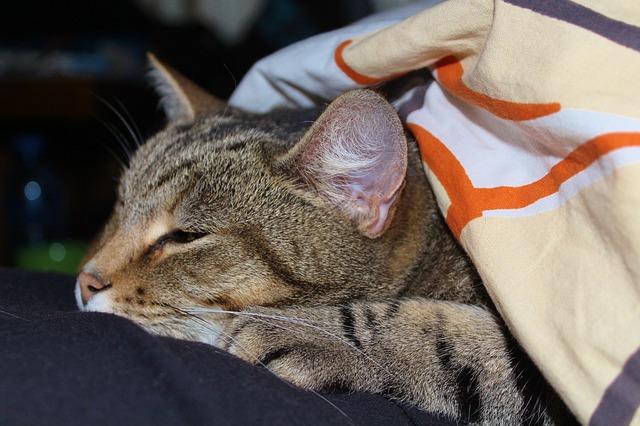 Паховые грыжи у кота