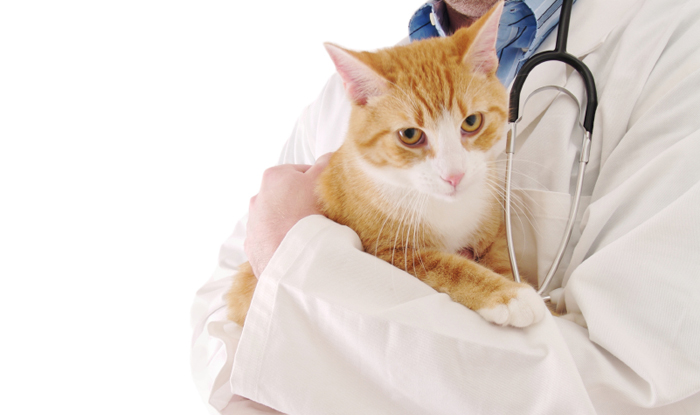 Перинеальная грыжа у кошки