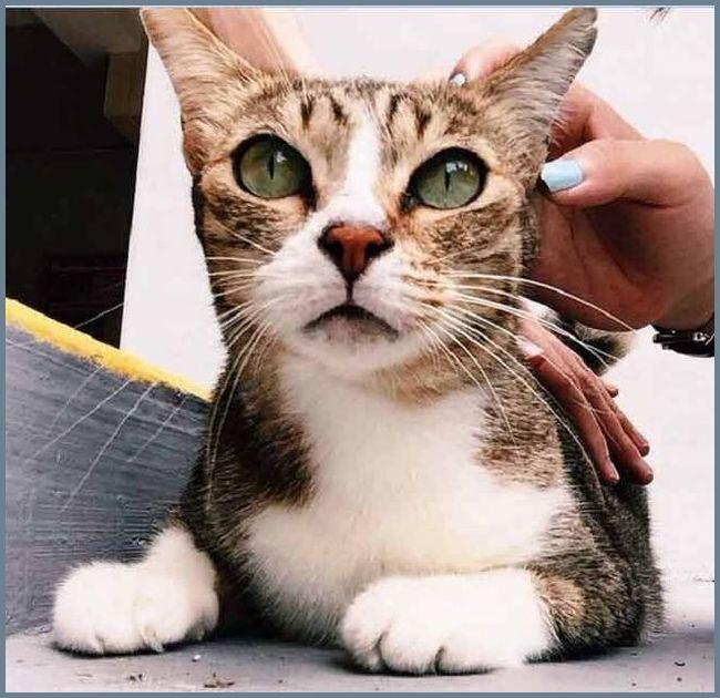 Кошку чешут за ухом