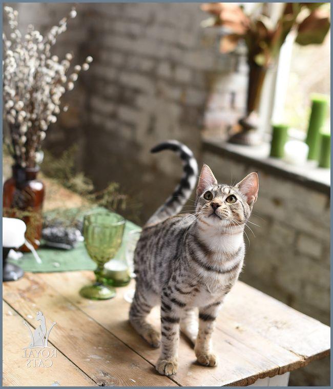Домашняя дикая кошка канаани