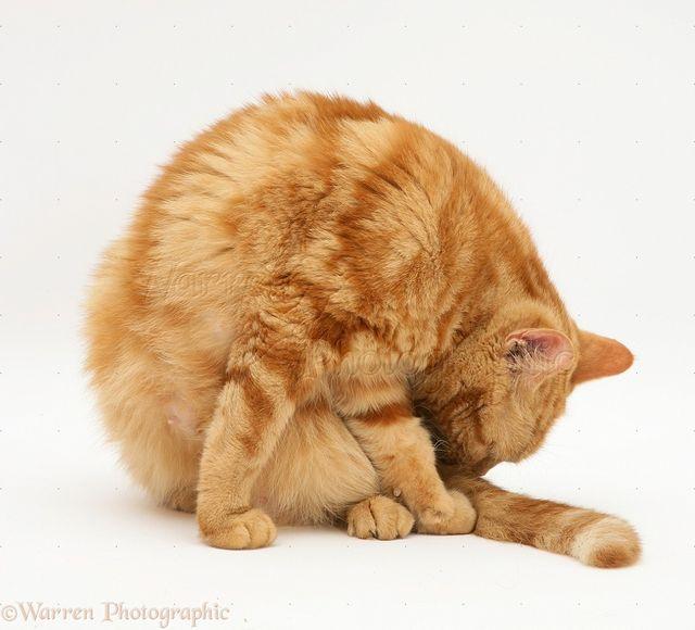 Кошка вылизывает хвост