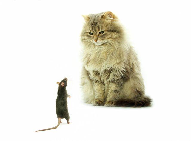 Коты-крысоловы