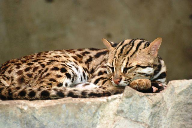 Леопардовая азиатская кошка