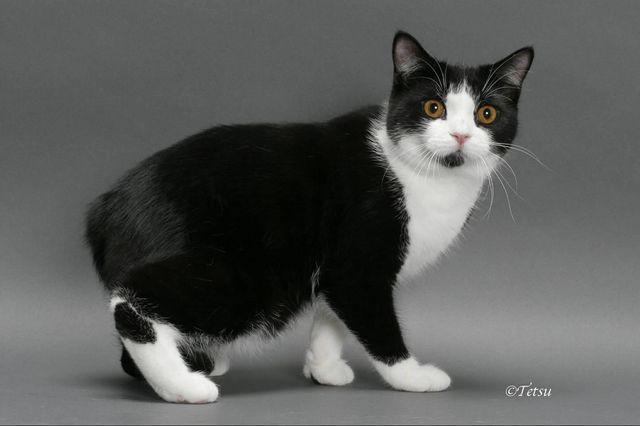 Мэнская кошка черно-белый окрас