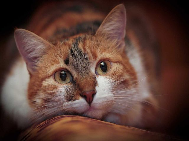 Мэнская кошка черепаховый окрас