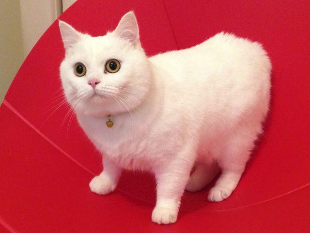 Мэнская кошка белый окрас