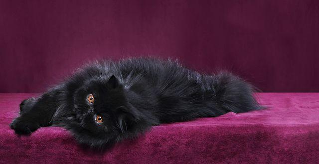 Черный персидский кот