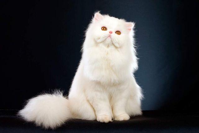 Белый персидский