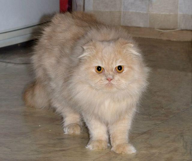 Голубовато-кремовый перс