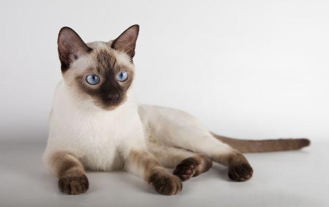 Тайские кошки Тайские кошки сил-поинт-поинт