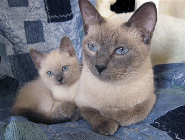 Тайские коты сил-пойнт
