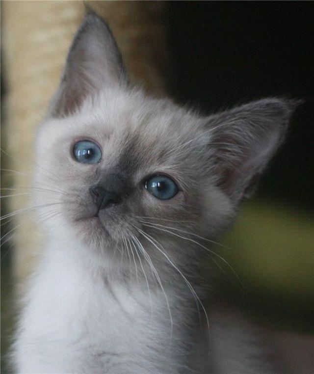 Тайские кошки блю-поинт
