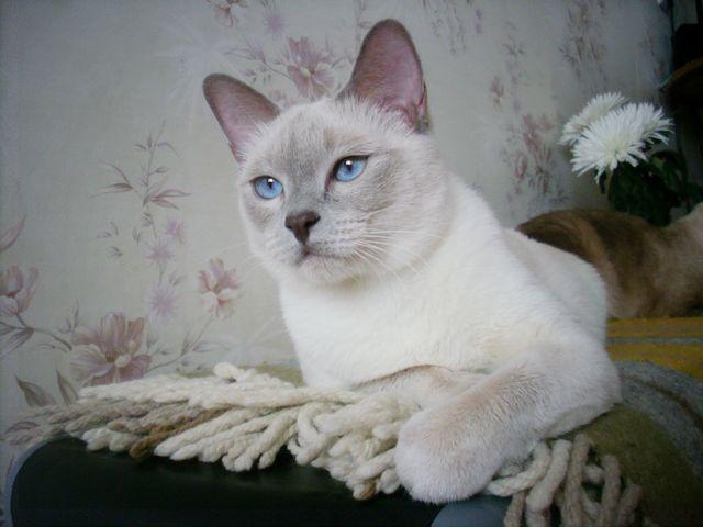 Тайские кошки фрост-поинт