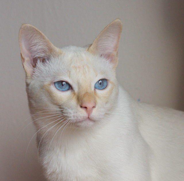 Тайские кошки торти-поинт