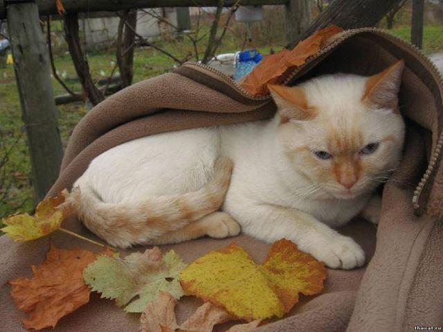 Тайские кошки ред-тебби-поинт
