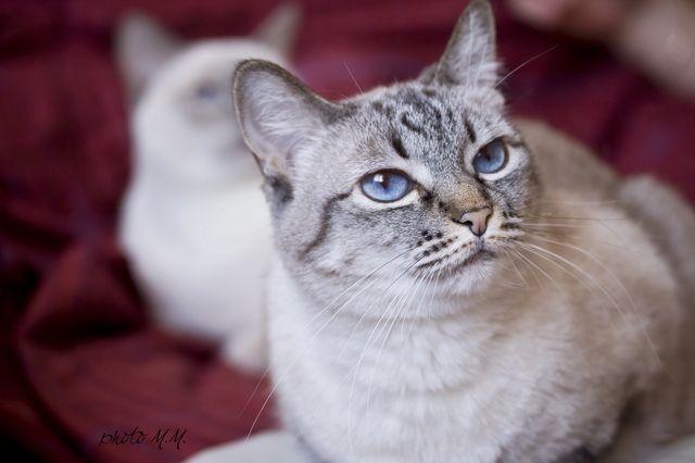 Тайские кошки сил-тебби-поинт