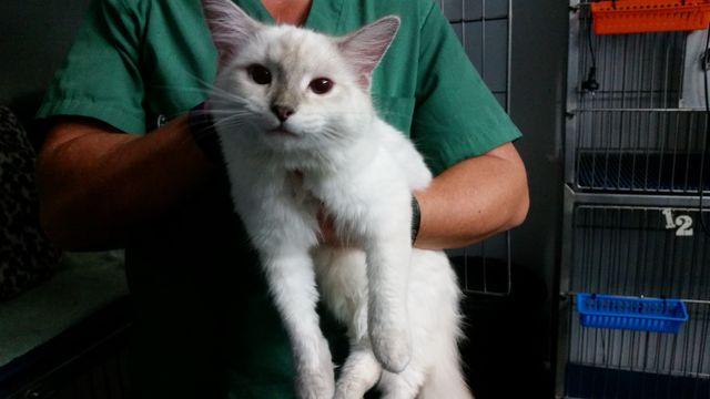 Тайские кошки циннамон-поинт