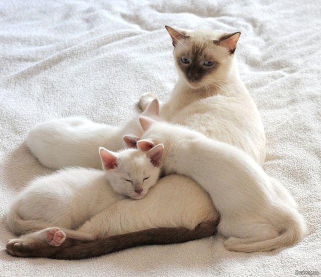 Тайские кошки фавн-поинт