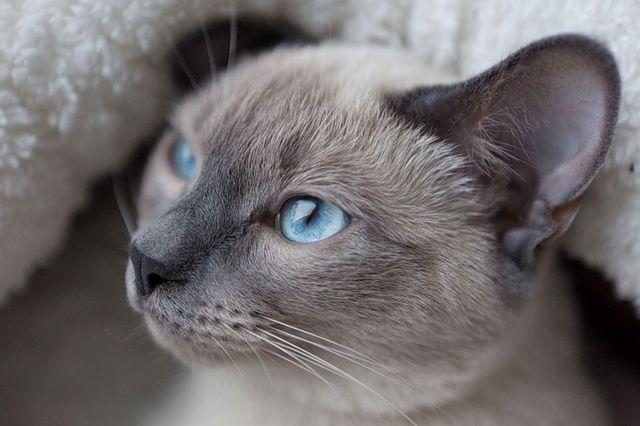 Тайские кошки серо-коричневый-поинт