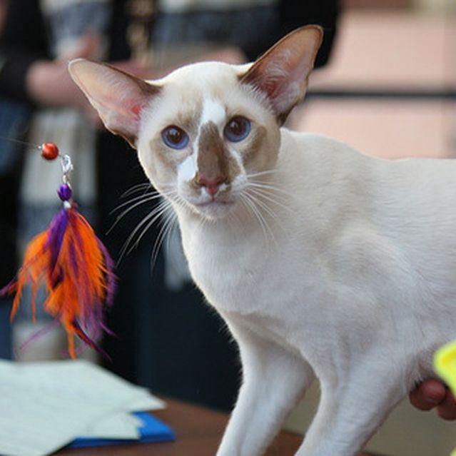 Кошка сейшельская