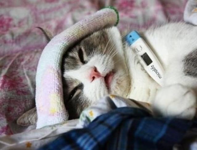 Температура у кошек значение