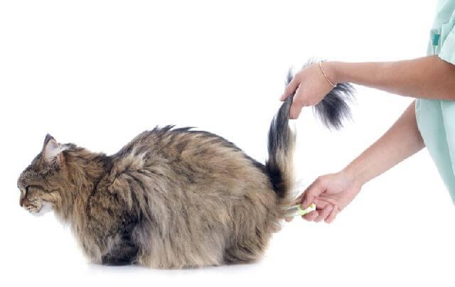 Как мерить температуру у котов