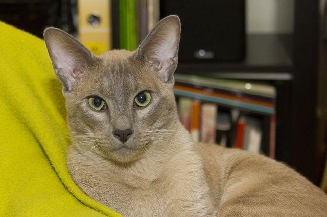 Кошка тонкинская окрас шампань
