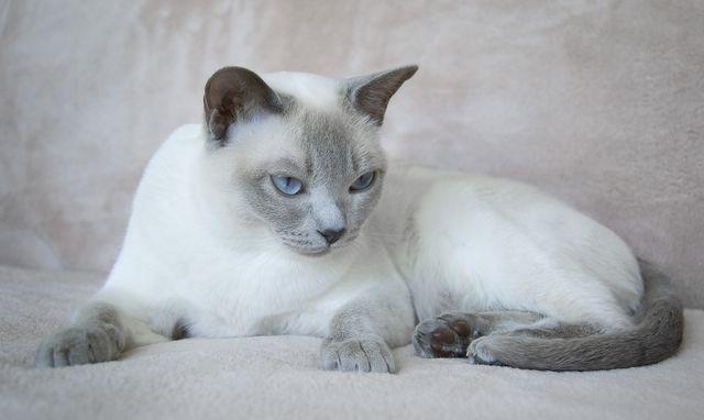 Кошка тонкинская окрас голубой