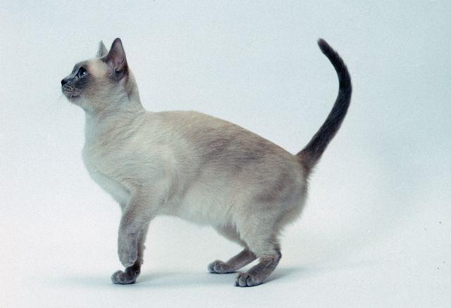 Кошка тонкинская окрас платниовый