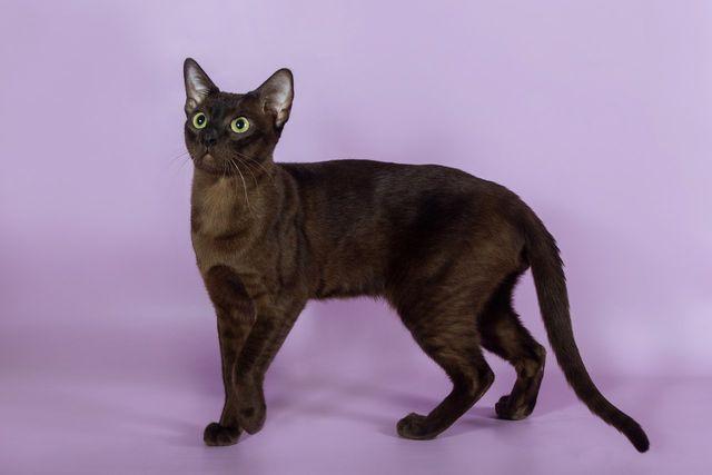 Кошка тонкинская натуральный окрас