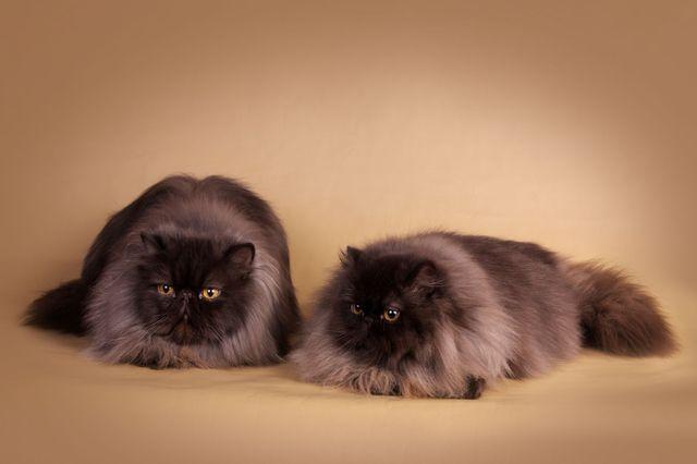 Вязка персидской кошки