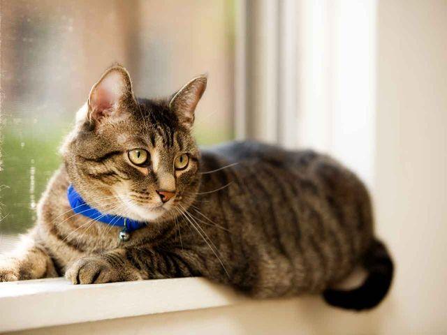 Асцит у кошки