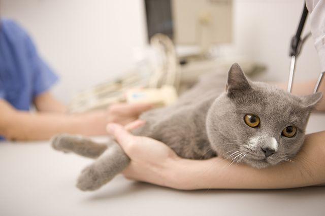 Гастрит у кошки