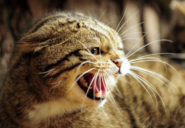 Агрессия кошки при гингивите