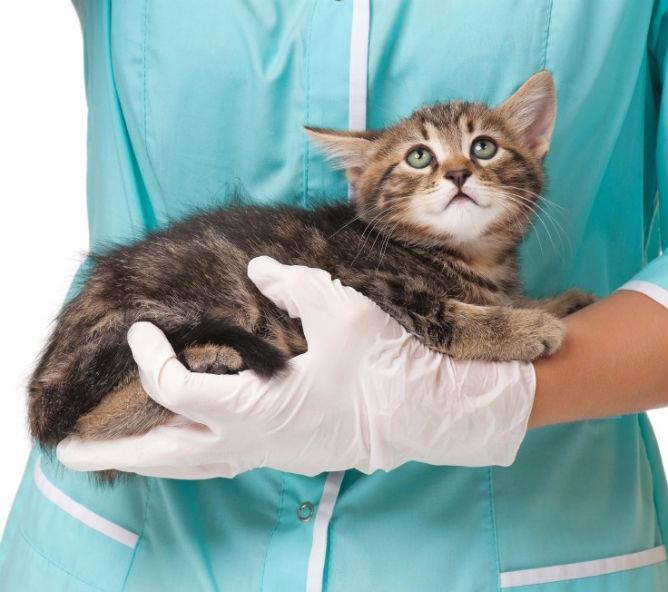 Гиперпаратиреоз у котов: лечение
