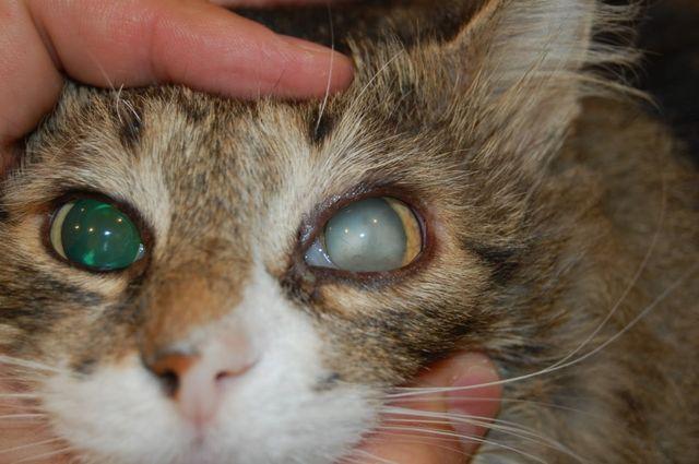 катаракты у кошек