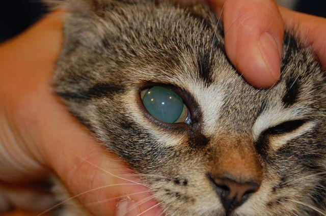 катаракта у кота