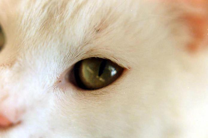 признаки конъюнктивита у кошек