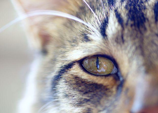 Конъюнктивит у кошек